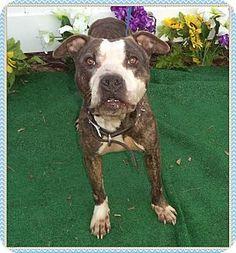 3/3/16♥♡CODE RED!!~~~~SUPER URGENT!!~~ THIS IS A KILL SHELTER!!~~~Marietta, GA - Pit Bull Terrier/American Bulldog Mix. Meet BORIS, a dog for adoption. http://www.adoptapet.com/pet/14738462-marietta-georgia-pit-bull-terrier-mix