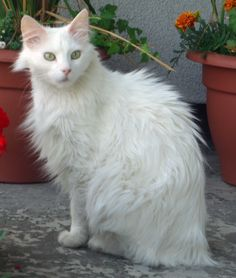 White Turkish Angora Cats Long Hair Click to see more funny cats