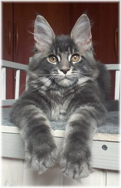 Gany Gi of Sudden Blazing, CZ ..... 3 months http://www.mainecoonguide.com/kittens/