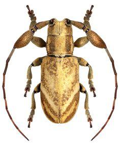 Clavidesmus rogueti