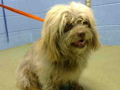 This DOG-ID#A445721  I am described as a male, brown Lhasa Apso mix.  The shelter thinks I am about 4 years old.  I have been at the shelter since Feb 09, 2015 and I am available for adoption now!  If you think I am your missing pet, please call or visit right away. Otherwise, please visit me in person as shelter staff are busy caring for my needs.  This information is 1 hour old.