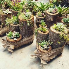 Succulents in stumps