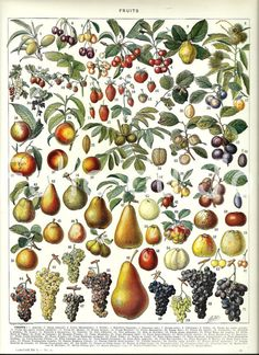"FRUITS - Vintage French Dictionary Color Illustration - 1930 9"" x 12"". $24.00, via Etsy."