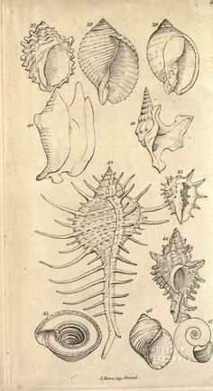 Wodarch's Introduction to the study of conchology : - Biodiversity Heritage Library Sea Creatures, Fantasy Creatures, Pencil Drawings, Art Drawings, Seashell Tattoos, Scientific Drawing, Fauna Marina, Botanical Illustration, Nature Illustration