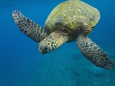 Adult Green Sea Turtle (Chelonia Mydas) in the Protected Marine Sanctuary at Honolua Bay Photographic Print at Art.com