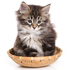 Siberian Kittens For Sale from top Siberian Cat Breeders