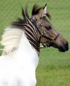 Its not just puggles and schnoodles monopolizing the hybrid animal market. Three weeks ago, a zebra/horse hybrid made its way to the Stukenbrock safari park from Italy. The Zebroid or Zorses mother is a zebra and her father is a horse. She probably wont be able to reproduce herself since equine hybrids are infertile.People have been cross-breeding zebras and horses since colonial times, but Eclyses coloring is unusual for such hybrids. She has ber distinct maki