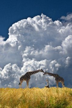 Family of Giraffes ~ photo by Peter Holme III