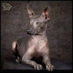 Izcuintli o Xoloizcuintli, perro sin pelo y milenario. Oriundos de México.