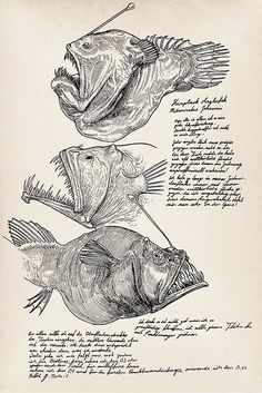 Cross Hatching and great sample of sketchbook pages. Humpback Anglerfish (Melanocetus johnsonii) For practice some crosshatch technics, i started to draw some deep sea fishes almost every day. Illustration Arte, Illustration Botanique, Botanical Illustration, Illustrations, Sea Creatures Drawing, Deep Sea Creatures, Fish Drawings, Animal Drawings, Art Drawings