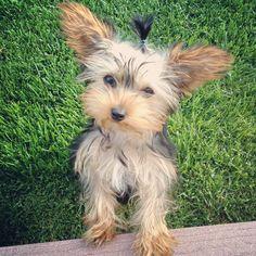 Yorkie-Big ears!