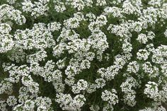 Lobularia maritima (Sweet Alyssum) Fragrant, low-growing carpet teems with the tiniest of flowers! A versatile annual that is equally effective spilling over the rims of containers, filling in cracks between flagstones or blanketing garden's edge. This variety boasts an extremely compact habit. Very salt tolerant.