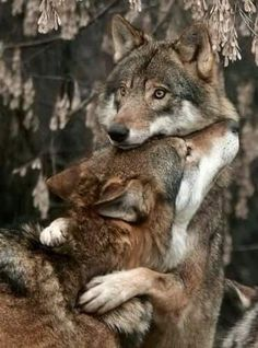 Wolves hugging! Animal photography!