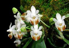 Phalaenopsis parishii by David in SWGA, via Flickr