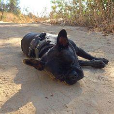 "MFW someone says ""brunch"" during my Sunday hike. xo,   #pepperpopfrenchie #frenchie #frenchies #frenchielove #socalfrenchies #peprthepup #mannysbuddyoftheweek #frenchbulldog #frenchiesofinstagram #frenchielove #thefrenchiepost #french_bulldogs #loveabully #ig_bullys #squishyfacecrew #adorabull #socalfrenchie #smushyfacecrew #instafrenchie #squishyfacecrew #adventurepup"