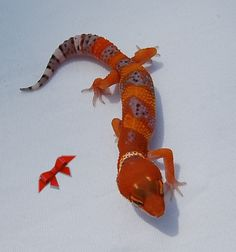 Premium Tangerine, Bold, Bandits, Bells and More Leopard Geckos for Sale                                                                                                                                                                                 More
