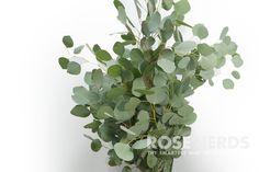 Wholesale Silver Dollar Eucalyptus - 10 bunches