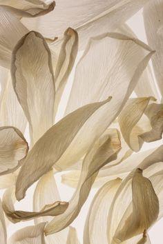 hague51: White Tulip Petals