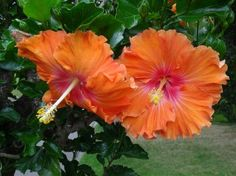 Proven Winners - Hibiscus Wears Many Hats in Finding the Right Plant Annuals Perennials and Shrubs Free Pictures, Free Images, Flowers That Attract Hummingbirds, Proven Winners, Flower Decorations, Garden Landscaping, Shrubs, Perennials, Exotic