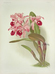 Cattleya Lawrenceana from Reichenbachia Orchid Prints 1888