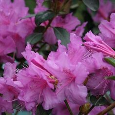 Abbey's Re-View® Rhododendron is an evergreen shrub that will quickly reach 6 to 8 feet tall. It is covered with pinkish-lavender blooms starting in early spring and again in fall. It is disease resistant and extremely heat tolerant. Learn more about pricing and availability here.
