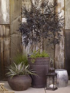Potted Treasures --- good idea to plant alpines or grasses in with the potted acers to add colour at height without needing more pots.