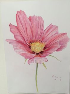 Pink Cosmos coloured pencil flower art by PaulineRobinsonArt
