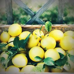 Bountiful Crop of Meyer Lemons . Citrus Trees, Snapseed, Instagram Images, Instagram Posts, Mobile Photography, Outdoors, App, Fruit, Garden