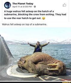 A huge walrus fell asleep on the hatch of a submarine, blocking the crew from exiting. They had to use the rear hatch to get out. (e) Walrus fell asleep on top of a submarine. Funny Animal Memes, Funny Animal Pictures, Cute Funny Animals, Cute Baby Animals, Funny Cute, Really Funny, Animals And Pets, Funny Memes, Funny Tweets