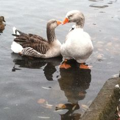 toulouse geese. Looks like dewlap.