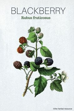 Herbal Medicine The Herb Blackberry (Rubus fruticosus) - Information on the Health Benefits, Side Effects and Modern and Traditional Uses of Blackberry (Rubus fruticosus) as a Medicinal Herb Healing Herbs, Medicinal Plants, Natural Healing, Herbal Remedies, Natural Remedies, Healthy Fruits And Vegetables, Herbal Medicine, Vegetable Garden, Bouquets