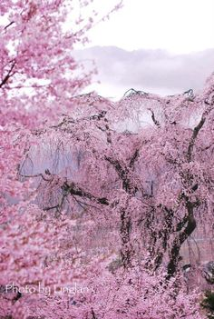 I love Japanese spring Blossom Trees, Blossom Flower, Great Pictures, Nature Pictures, Cherry Blossom Japan, Cherry Blossoms, Japanese Cherry Tree, Pink Photography, Amazing Nature