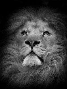 Lion King - Kruger National Park
