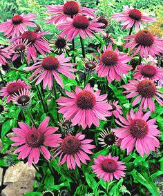 Echinacea/Zonnehoed | Bloeit: Juli/Okt |  Echinacea purpurea is een makkelijke vaste plant die jarenlang op dezelfde plek kan blijven staan. Zorg ervoor dat de aarde rond de wortels niet uitdroogt. Te natte grond wordt niet goed verdragen (vooral in de winter). Voor de winter sterven de stengels bovengronds af. Dek de planten 's winters af met een laagje afgevallen blad. Knip in het voorjaar al het blad af. Al snel zullen er weer nieuwe scheutjes boven de grond komen.