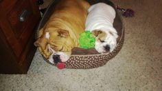 Jewel and Buster  snuggled tightly and sleeping well. Bully babies love to sleep snuggled tightly to something or someone (mostly the someone)
