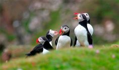 Fun Fact Friday!   Puffins mate for life. They make their homes on cliff sides and set aside room for their toilet.   #puffins #birds #funfactfriday
