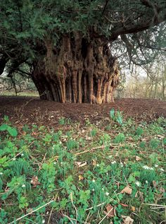 The Ankerwycke Yew  -  There may be yew trees in Britain that are older but the 31-ft wide yew (Taxus baccata) found in the ruined priory of Ankerwycke in Berkshire has witnessed at least 2,000 years of history and myth-making. They were considered holy trees by the Celts.