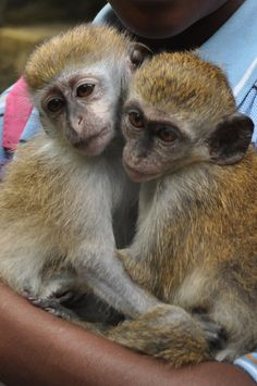 Baby Monkeys - Caribbean