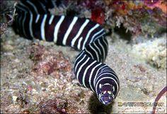 Eels Field Guide   Diving Sabah? Dive Downbelow!