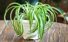 feng shui indoor plants - spider plant