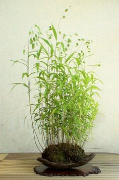 This is a kind of grass that would look good in an enclosed (courtyard) garden.