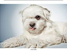 Pictures of Little Lowell a Shih Tzu Mix for adoption in New York, NY who needs a loving home.