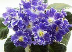 African Violet RS-Ariel Russian/Ukrainan variety