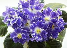 African Violet RS-Ariel Russian/Ukrainan variety