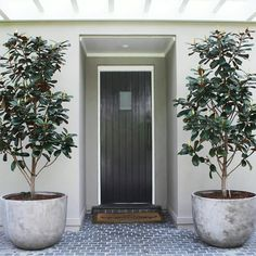 """- Magnolia """"Little Gem"""" is a dwarf variety of the evergreen magnolia (Magnolia grandiflora), but only a… Courtyard Design, Front Courtyard, Outdoor Landscaping, Front Yard Landscaping, Little Gem Magnolia Tree, Magnolia Grandiflora Little Gem, Potted Trees Patio, Garden Trees, Olivier En Pot"""