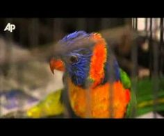 Polly Want A Shot - Drunk Parrots Worry Aussies : Video Clips From The Coolest One