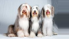 Do Bearded Collies shed? | Bearded Collie Dogs and Puppies | Dog Breeds Journal