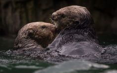 Rehabilitated sea otter Walter, right, swims with female Tanu after being introduced to her