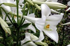 NixPages: MADONNA LILY