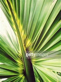 Search - Getty Images UK: palm leaves